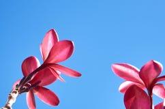 Ρόδινο λουλούδι plumeria ενάντια σε έναν μπλε ουρανό Στοκ Εικόνες