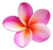 Ρόδινο λουλούδι Plumeria που απομονώνεται Στοκ εικόνες με δικαίωμα ελεύθερης χρήσης