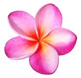 Ρόδινο λουλούδι Plumeria που απομονώνεται Στοκ Εικόνες