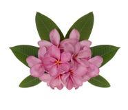 Ρόδινο λουλούδι plumeria που διακοσμείται στο άσπρο υπόβαθρο Στοκ Εικόνα