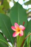 Ρόδινο λουλούδι Plumeria σε μια φύση στον κήπο Στοκ Εικόνα
