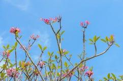 Ρόδινο λουλούδι plumeria στην πλήρη άνθιση Στοκ εικόνα με δικαίωμα ελεύθερης χρήσης