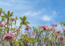 Ρόδινο λουλούδι plumeria στην πλήρη άνθιση Στοκ Φωτογραφία