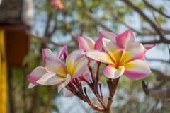 Ρόδινο λουλούδι plumeria στο υπαίθριο υπόβαθρο κήπων Στοκ εικόνα με δικαίωμα ελεύθερης χρήσης