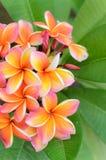 Ρόδινο λουλούδι Plumeria Στοκ Εικόνες