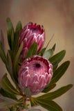 Ρόδινο λουλούδι Protea Proteaceae στοκ φωτογραφία