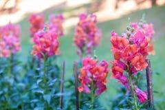 Ρόδινο λουλούδι snapdragon Στοκ εικόνες με δικαίωμα ελεύθερης χρήσης