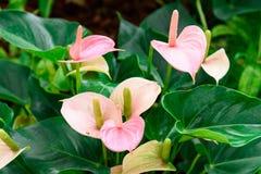 Ρόδινο λουλούδι spadix, κρίνος φλαμίγκο, ρόδινη anthurium ροή andreanum Στοκ φωτογραφία με δικαίωμα ελεύθερης χρήσης