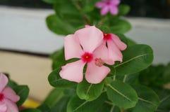 Ρόδινο λουλούδι Vinca Στοκ Φωτογραφία