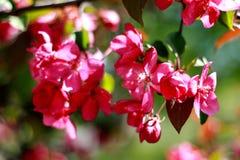 Ρόδινο πέταλο Άνθη μήλων κλάδων ανθίζοντας οπωρώνας Στοκ Εικόνα