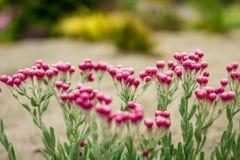 Ρόδινο πεδίο λουλουδιών στοκ φωτογραφία
