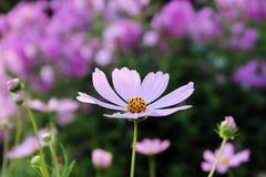 Ρόδινο πορφυρό λουλούδι, όπως μια μαργαρίτα λαμβάνοντας υπόψη τον ήλιο ρύθμισης Στοκ Εικόνες