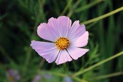 Ρόδινο πορφυρό λουλούδι, όπως μια μαργαρίτα λαμβάνοντας υπόψη τον ήλιο ρύθμισης Στοκ Φωτογραφία