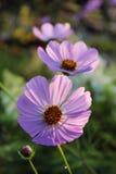 Ρόδινο πορφυρό λουλούδι, όπως μια μαργαρίτα λαμβάνοντας υπόψη τον ήλιο ρύθμισης Στοκ εικόνες με δικαίωμα ελεύθερης χρήσης