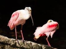 Ρόδινο πουλί πλαταλεών Στοκ Εικόνες
