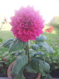 Ρόδινο πραγματικό λουλούδι Στοκ εικόνα με δικαίωμα ελεύθερης χρήσης