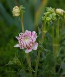 Ρόδινο τρυφερό λουλούδι κήπων Στοκ φωτογραφία με δικαίωμα ελεύθερης χρήσης