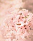 Ρόδινο υπόβαθρο λουλουδιών bougainvillea Στοκ Εικόνες