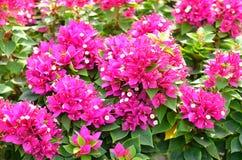 Ρόδινο υπόβαθρο λουλουδιών bougainvillea Στοκ Φωτογραφία
