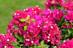 Ρόδινο υπόβαθρο λουλουδιών bougainvillea Στοκ εικόνες με δικαίωμα ελεύθερης χρήσης