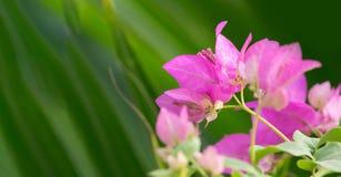 Ρόδινο υπόβαθρο λουλουδιών Bougainvillea Στοκ εικόνα με δικαίωμα ελεύθερης χρήσης