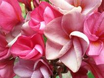 Ρόδινο υπόβαθρο λουλουδιών plumeria Στοκ Εικόνες