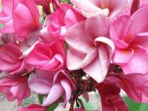 Ρόδινο υπόβαθρο λουλουδιών plumeria Στοκ φωτογραφίες με δικαίωμα ελεύθερης χρήσης