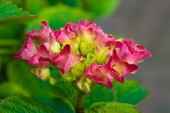 Ρόδινο φρέσκο πράσινο καλοκαίρι λουλουδιών ανθών hydrangea Στοκ φωτογραφία με δικαίωμα ελεύθερης χρήσης
