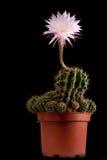 ρόδινο φυτό λουλουδιών succu Στοκ Εικόνες