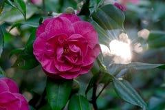 Ρόδινο φως του ήλιου λουλουδιών καμελιών Στοκ φωτογραφίες με δικαίωμα ελεύθερης χρήσης