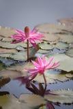 Ρόδινο φύλλο λωτού Lotus Στοκ Εικόνες