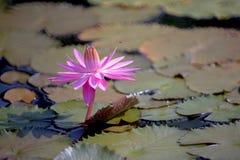 Ρόδινο φύλλο λωτού Lotus Στοκ εικόνες με δικαίωμα ελεύθερης χρήσης