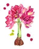 Ρόδινο χέρι watercolor λουλουδιών Gippeastrum/hippeastrum που σύρεται άρρωστο Στοκ εικόνες με δικαίωμα ελεύθερης χρήσης