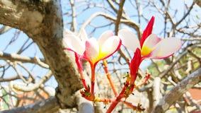 Ρόδινο χρώμα των λουλουδιών Frangipani ή Plumeria στο δέντρο Στοκ Εικόνες