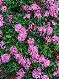 Ρόδινο χρώμα Ixora Στοκ Φωτογραφίες