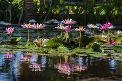 ρόδινο ύδωρ κρίνων λουλο&ups Λουλούδι Lotus στο νησί Μπαλί, Ινδονησία Στοκ εικόνα με δικαίωμα ελεύθερης χρήσης