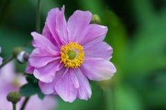 Ρόδινο anemone λουλουδιών Στοκ φωτογραφία με δικαίωμα ελεύθερης χρήσης