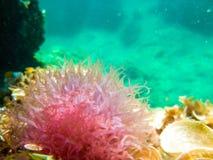 Ρόδινο anemone στη Μεσόγειο Στοκ εικόνες με δικαίωμα ελεύθερης χρήσης