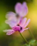 Ρόδινο Anemone στον κήπο Στοκ Φωτογραφίες