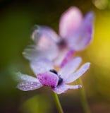Ρόδινο Anemone στον κήπο Στοκ Εικόνες