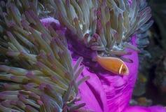 Ρόδινο Anemonefish - Παπούα Νέα Γουϊνέα Στοκ Εικόνες