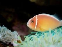 Ρόδινο anemonefish σε Anilao, Φιλιππίνες Στοκ εικόνες με δικαίωμα ελεύθερης χρήσης