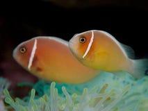 Ρόδινο anemonefish σε Anilao, Φιλιππίνες Στοκ Φωτογραφίες