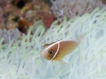 Ρόδινο anemonefish σε Anilao, Φιλιππίνες Στοκ εικόνα με δικαίωμα ελεύθερης χρήσης