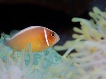 Ρόδινο anemonefish σε Anilao, Φιλιππίνες Στοκ Εικόνα