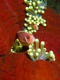 Ρόδινο Anemonefish σε balled-επάνω Anemone Στοκ Φωτογραφία