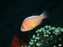 Ρόδινο Anemonefish Στοκ εικόνα με δικαίωμα ελεύθερης χρήσης