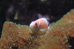 Ρόδινο Anemonefish Στοκ Εικόνες
