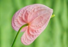 Ρόδινο Anthurium. Λουλούδι φλαμίγκο. Στοκ φωτογραφία με δικαίωμα ελεύθερης χρήσης