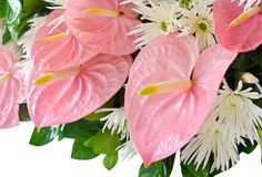 Ρόδινο anthurium λουλούδι (λουλούδια φλαμίγκο) Στοκ Φωτογραφία